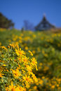 Mexican sunflowers with house in the background