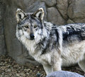 Mexican Wolf Royalty Free Stock Photography