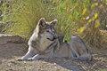 Mexican Wolf Bedded Stock Photo