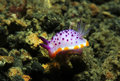 Mexichromis mariei nudibranch lembeh strait indonesia Stock Photo
