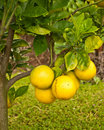 Meyer Lemons on Tree Royalty Free Stock Photo