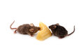 Mice and cheese isolated on a white background Royalty Free Stock Photos