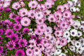 Michaelmas Daisies Aster Amell...