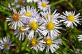 Michaelmas Daisy 01 Royalty Free Stock Photos