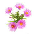 Michaelmas Daisy Royalty Free Stock Photos