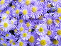 Michaelmas daisy Stock Photos