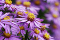 Michaelmas daisy flowers Royalty Free Stock Image