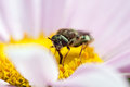Micro bee a small pollinates a flower Royalty Free Stock Image