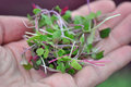 Microgreen Herbs Royalty Free Stock Photo