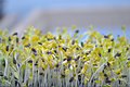 Microgreen Herbs Royalty Free Stock Photo