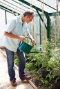 Middle aged man watering tomato plants in greenhouse using can whilst concentrating Royalty Free Stock Photography