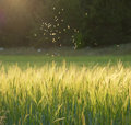 Midges flying over a meadow Royalty Free Stock Image