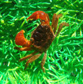 Midget mangrove crab Royalty Free Stock Photography
