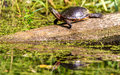 Midland Painted Turtle Royalty Free Stock Photo