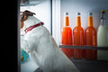 Midnight hungry dog looking for food in the refrigerator Royalty Free Stock Image