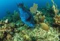 Midnight parrot fish feeding Stock Image