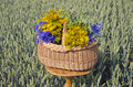 Midsummer time various medical herbs wicker basket on wooden table wheat field background Royalty Free Stock Photos