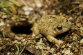 Midwife iberian toad going out of its secret storage close to valdemanco madrid province spain Stock Photos