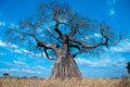 Mighty Baobab Tree Royalty Free Stock Photo