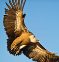 The mighty Griffon Vulture Stock Photography