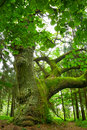 Mighty oak. Royalty Free Stock Photo
