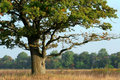 Mighty oak in the middle of a field Stock Photo