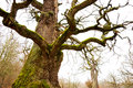 Mighty oak tree bare with green moss in early spring Stock Photos