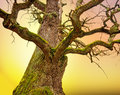 Mighty oak tree bare with green moss in early spring on colorful background Royalty Free Stock Photos