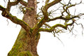Mighty oak tree bare with green moss in early spring on white background Stock Photography