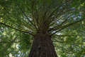 A mighty redwood tree with multiple twigs in forest rotorua new zealand Royalty Free Stock Photo