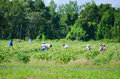 Migrant farm workers in the field Royalty Free Stock Photo