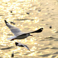 Migrate seagull in sunsets. Royalty Free Stock Photo