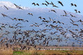 Migrating birds pastoral landscape Royalty Free Stock Photo