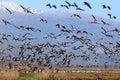 Migrating birds pastoral landscape Royalty Free Stock Photo