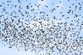 Migrating Blackbirds Royalty Free Stock Images