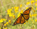 Migrating female monarch butterfly feeding on a sneezeweed Royalty Free Stock Image