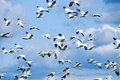 Migrating Snow Geese Stock Image