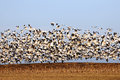 Migrating Snow Geese in Flight Royalty Free Stock Photo