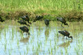 Migratory birds red naped ibis feeding at paddy field agriculture are fishes and water creatures pseudibis papillosa Stock Image