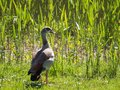 Migratory egyptian goose sitting at the waterfront Royalty Free Stock Photography