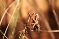 Migratory locust the couple of mating locusts Royalty Free Stock Photos
