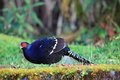 Mikado pheasant male syrmaticus in taiwan Stock Photo