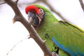 Military macaw Royalty Free Stock Photo
