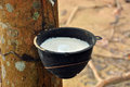 Milk of rubber tree flows into a bowl Stock Photo