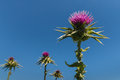 Milk thistle flowerheads against blue sky detail of Stock Photography