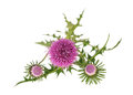 Milk thistle flowers Royalty Free Stock Photo