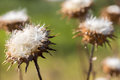 Milk Thistle Silybum marianum dried flowers in the summer. Royalty Free Stock Photo