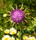 Milk thistles and wild flowers thistle silybum marianum in full bloom on unfocused background of Royalty Free Stock Photo