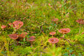 Milkcap mushrooms in the moss Stock Photos