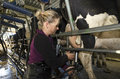 Milkman milks cows in milking facility peria nz july on july the income from dairy farming is now a major part of the new zealand Stock Images